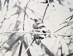 Guam flycatcher Guam flycatcher Wikipedia