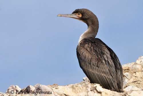 Guanay cormorant Guanay Cormorant