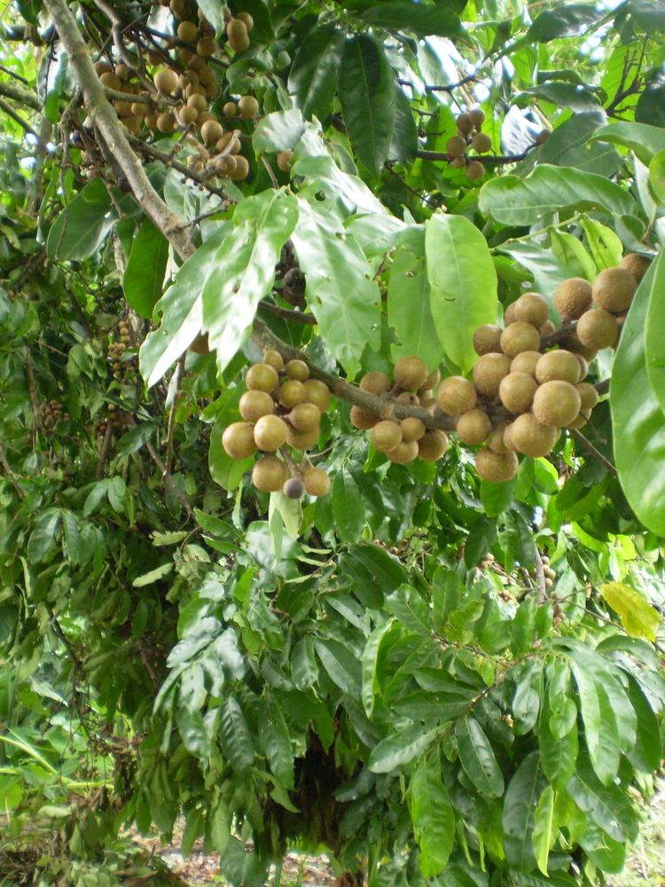 Guarea Guarea guidonia Images Useful Tropical Plants