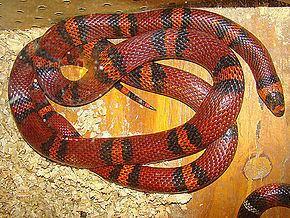 Guatemalan milk snake httpsuploadwikimediaorgwikipediacommonsthu