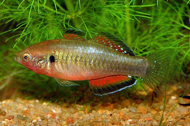 Gudgeon (fish) Hypseleotris compressa