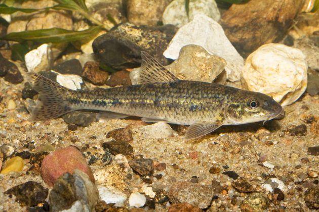 Gudgeon (fish) Gudgeon Fish Around