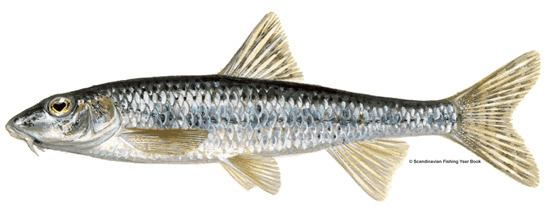 Gudgeon (fish) Angling Society Species Gudgeon