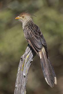 Guira cuckoo httpsuploadwikimediaorgwikipediacommonsthu
