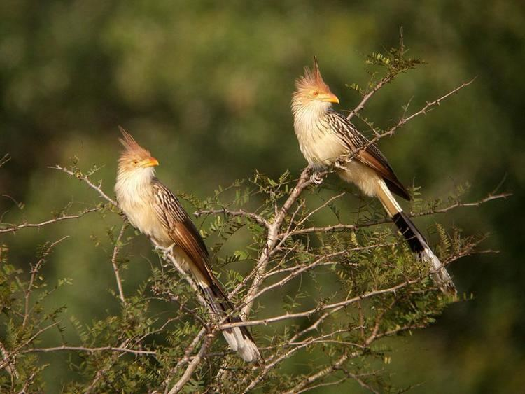 Guira cuckoo Guira Cuckoo Guira guira Two birds perched in a tree the