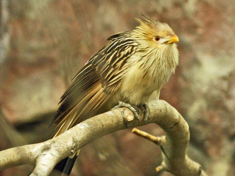Guira cuckoo FileGuira Cuckoo RWDjpg Wikimedia Commons