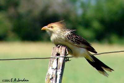 Guira cuckoo Guira Cuckoo
