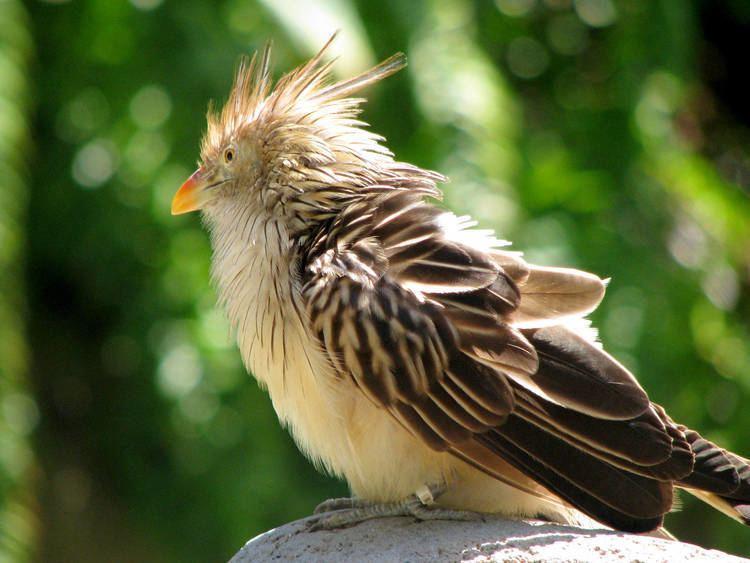 Guira cuckoo Guira Cuckoo ZooChat