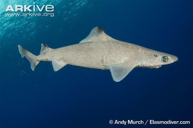 Gulper shark Gulper shark photo Centrophorus granulosus G131171 ARKive