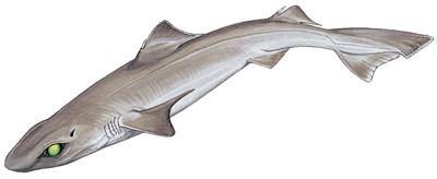 Gulper shark Gulper Shark Shark Research Institute