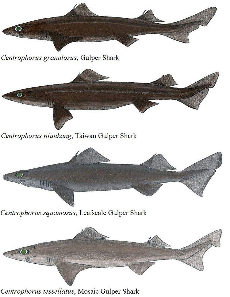 Gulper shark Gulper shark Wikipedia