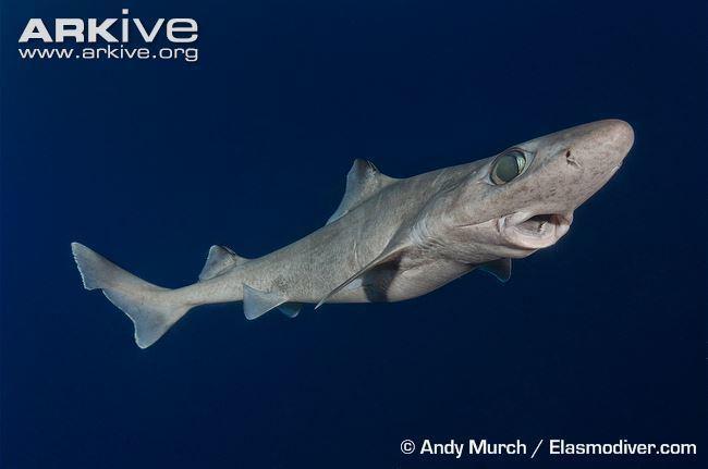 Gulper shark cdn1arkiveorgmedia0E0E1C1880368C4625BC4EB