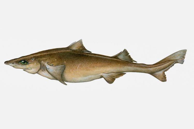 Gulper shark Dwarf Gulper Shark Shark Week Discovery