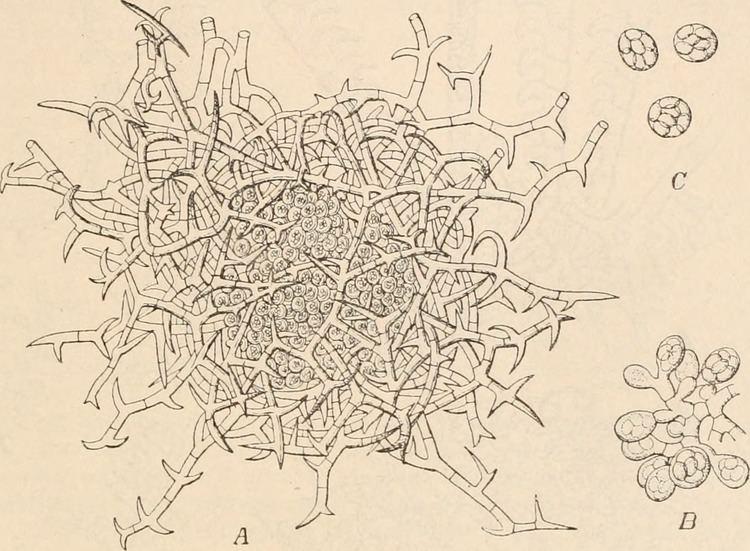 Gymnoascus FileGymnoascus reessii gymnotheciumjpg Wikimedia Commons