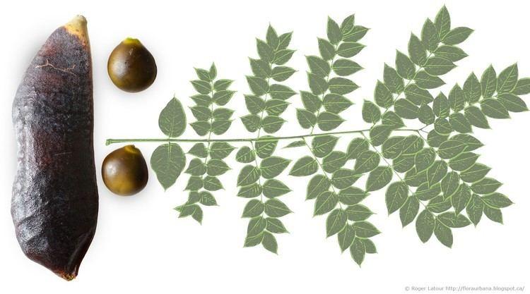 Gymnocladus Gymnocladus dioicus Kentucky Coffee Tree Gymnocladus Kentucky