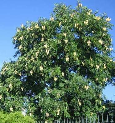 Gymnocladus Online Virtual Flora of Wisconsin Gymnocladus dioicus