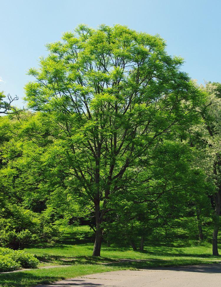 Gymnocladus FileGymnocladus dioicus Arnold Arboretumjpg Wikimedia Commons