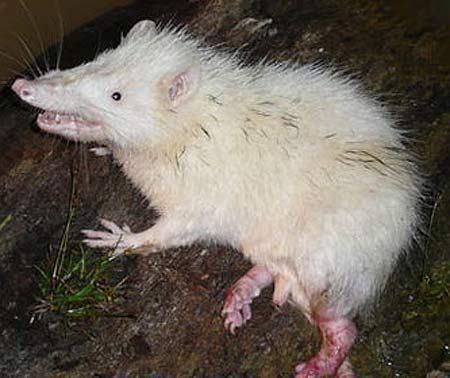 Pet Rat Habitat