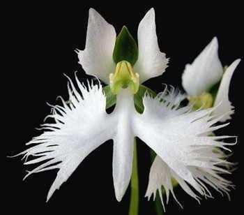 Habenaria Habenaria radiata the egret flower of the Far East