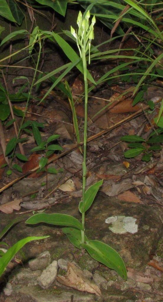 Habenaria dentata Habenaria dentata HabenariaPecteilisZchizochilus Dockrillia