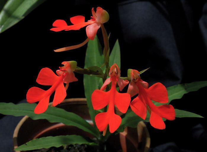 Habenaria rhodocheila Habenaria rhodocheila orangered