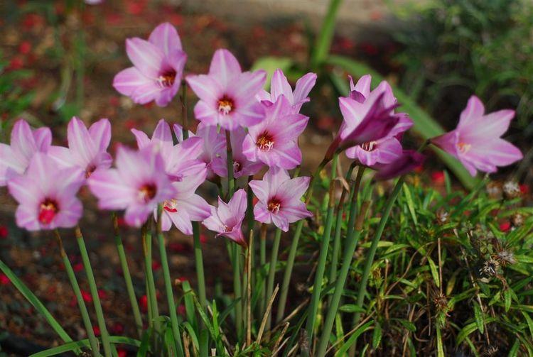 Habranthus Rain lilies Habranthus Zephyranthes etc