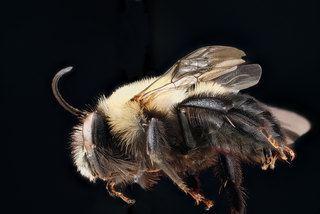 Habropoda laboriosa Habropoda laboriosa Southeastern blueberry bee Discover Life