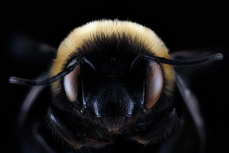 Habropoda laboriosa Habropoda laboriosaFemale Face Bees of Georgia
