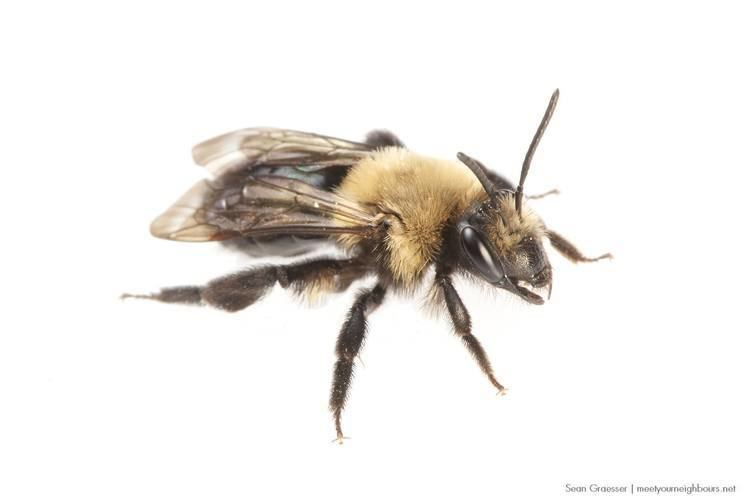Habropoda laboriosa Southeastern Blueberry Bee Habropoda laboriosa The Roger Tory