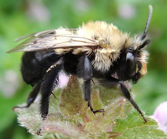 Habropoda laboriosa Bumble Bee Habropoda laboriosa BugGuideNet