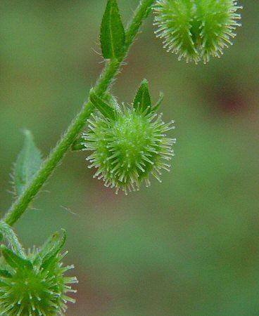 Hackelia Hackelia virginiana page