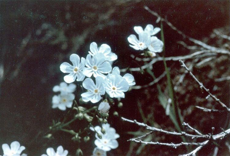 Hackelia cronquistii