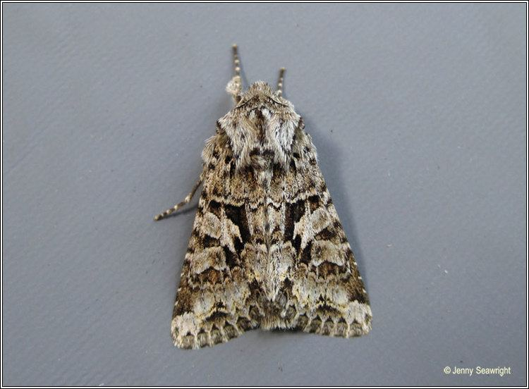 Hada plebeja Irish moths The Shears Hada plebeja