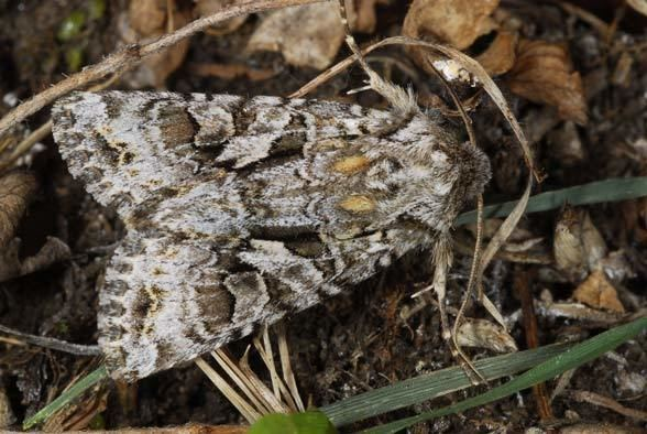 Hada plebeja European Lepidoptera and their ecology Hada plebeja