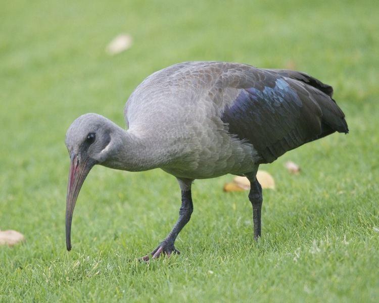 Hadada ibis Hadada Ibis dcdcapitalcom