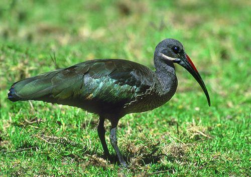 Hadada ibis Hadada Ibis Lincoln Park Zoo