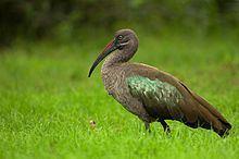 Hadada ibis httpsuploadwikimediaorgwikipediacommonsthu