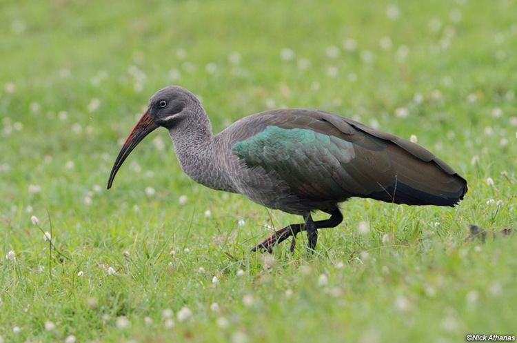 Hadada ibis Hadada ibis