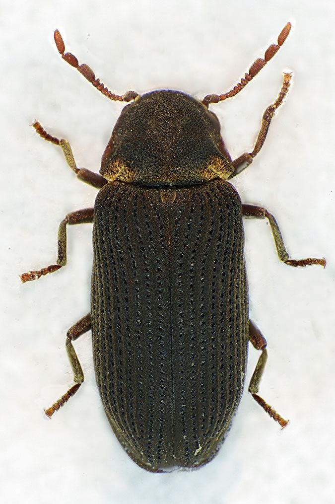 Hadrobregmus pertinax Hadrobregmus pertinax Linnaeus 1758
