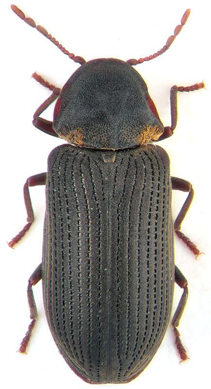 Hadrobregmus pertinax Hadrobregmus pertinax L Anobiidae