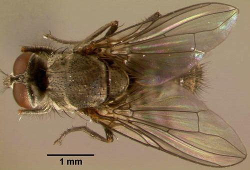 Haematobia irritans horn fly Haematobia irritans irritans Linnaeus