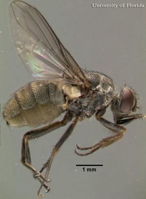 Haematobia irritans entomologyifasufleducreatureslivestockflies