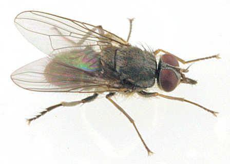 Haematobia irritans Haematobia irritans Horn fly Conops irritans