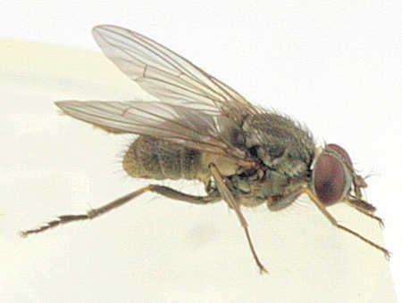 Haematobia irritans Haematobia irritans Horn Fly