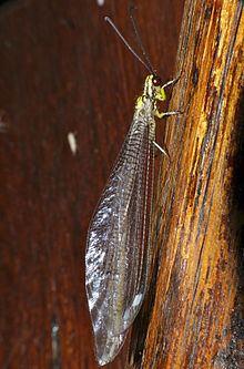 Hagenomyia tristis httpsuploadwikimediaorgwikipediacommonsthu