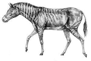 Hagerman horse A drawing of what the Hagerman Horse might have looked like Horses