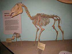 Hagerman horse httpsuploadwikimediaorgwikipediacommonsthu