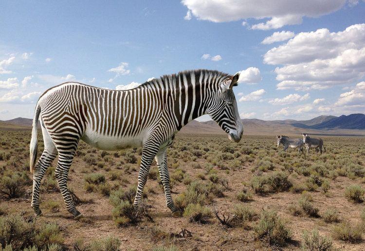 Hagerman horse Hagerman Horse Equus simplicidens American Zebra by philip72