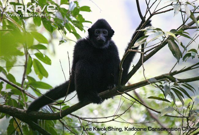 Hainan black crested gibbon Hainan gibbon videos photos and facts Nomascus hainanus ARKive