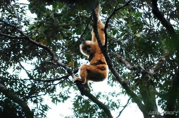 Hainan black crested gibbon Illegal Deforestation Threatens the Last 23 Hainan Gibbons Video